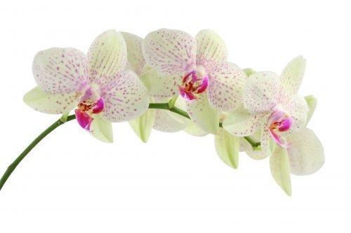 Orchid Flower - Superyacht Stewardess